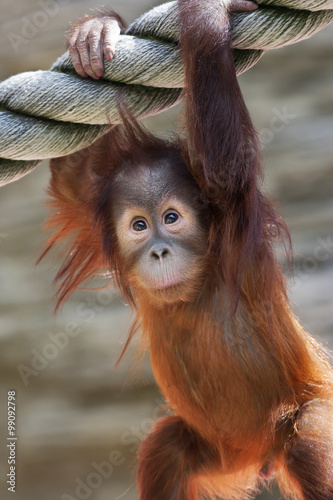 Fotografija  Stare of an orangutan baby, hanging on thick rope