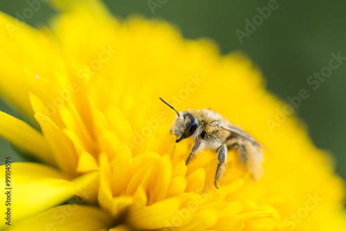Aluminium Prints Bee ヒメヒマワリの花にいるシロスジフデアシハナバチ