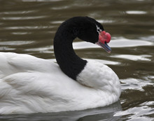 A Black-necked Swan, Cygnus Melanocoryphus, On Gray Water, Side View. South American Web-foot Fowl With Red Knot On His Beak. Beauty Of The Wildlife.