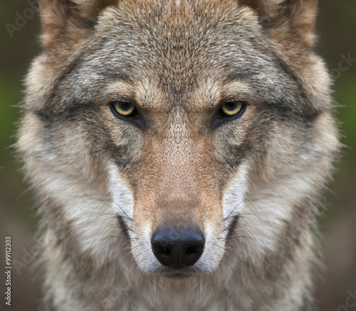 Photo sur Toile Loup A look straight into your soul of a severe wolf female. Menacing expression of the young, two year old, european wolf, very beautiful animal and extreamly dangerous beast.