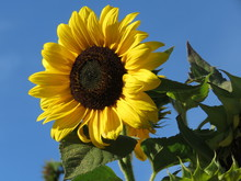 Tall Yellow Sunflower Against ...