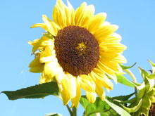 Tall Yellow Sunflower Against A Blue Sky Background