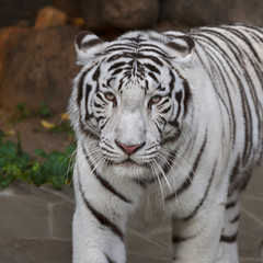 A calm pacing white bengal tiger. The most beautiful animal and very dangerous beast of the world. This severe raptor is a pearl of the wildlife. Animal face portrait.