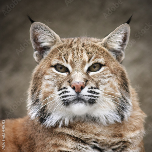 Photo Face portrait of a red bobcat female, very beautiful beast of the North American forests