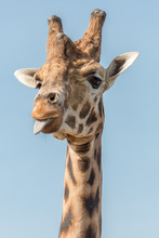 A Giraffe Sticks Its Tongue Ou...