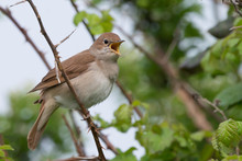 Nightingale Singing At Pulboro...