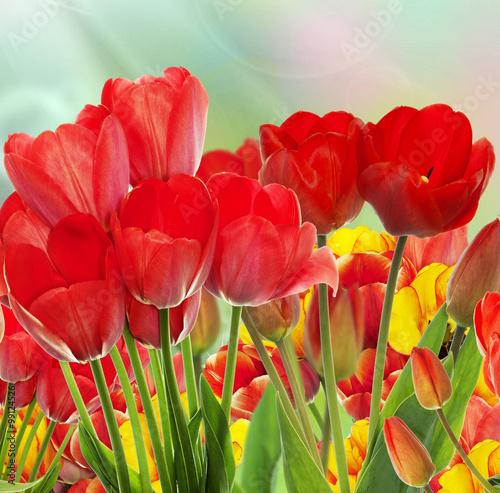 Fototapety, obrazy:  garden fresh colorful tulips.Springtime.