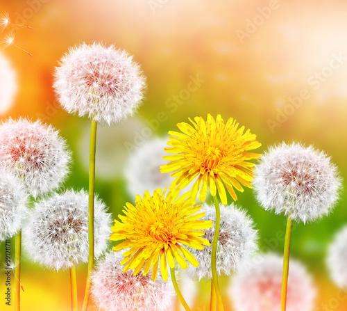wiosenne-kwiaty-i-dmuchawce