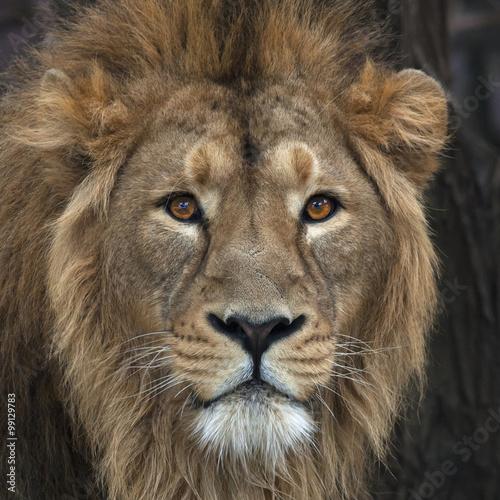 Fotografía  Head with splendid mane of Asian lion