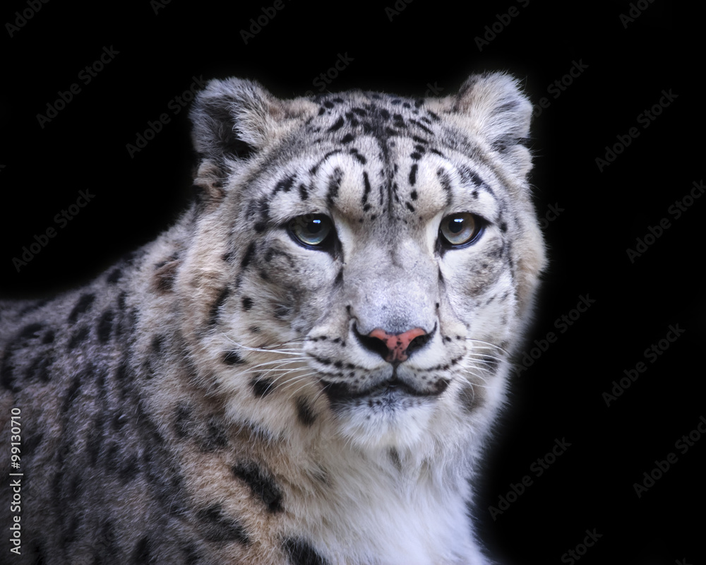 isolated snow leopard on black background