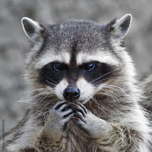 Fotografia  The head and hands of a cute and cuddly raccoon, that can be very dangerous beast