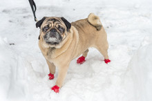 Adorable Pug Wearing Red Boots, In The Snow In Winter