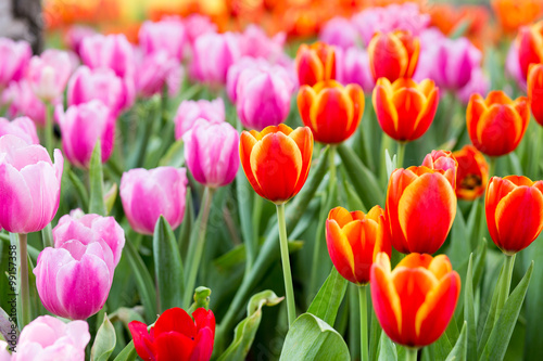 Tulip flower fields Poster