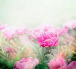 FototapetaPink peonies plant in garden or park. Soft focus