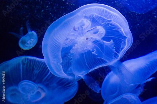 plakat Ohrenquallen im Wasser (Aquarium)