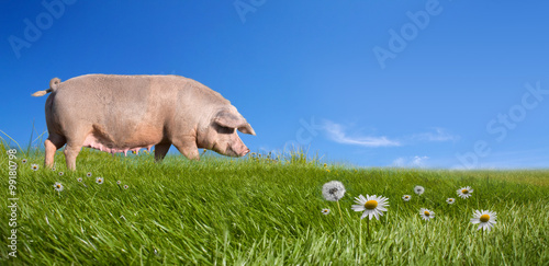 Fotografie, Obraz  Pig on green field