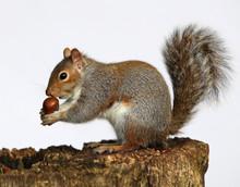 Portrait Of A Grey Squirrel Enjoying A Chestnut While Sitting On A Tree Trunk