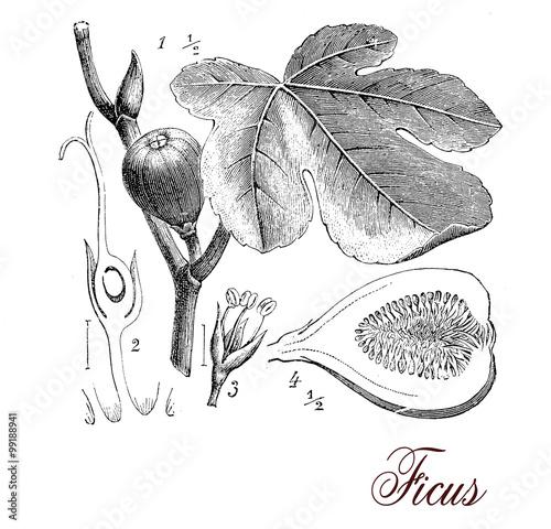 Foto  Fig tree, botanical vintage engraving