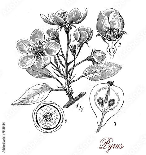 Foto  Birnbaum, botanische Vintage Gravur