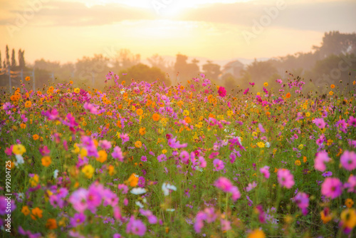 Foto auf Leinwand Kosmos cosmos flower field in the morning at singpark in chiangrai, Tha