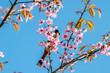 Beautiful cherry blossom and a yellow bird in the northern of Th