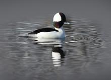 Male Bufflehead Duck In The Water