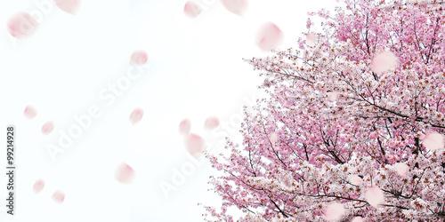 Papiers peints Cerises 桜 春 祝賀