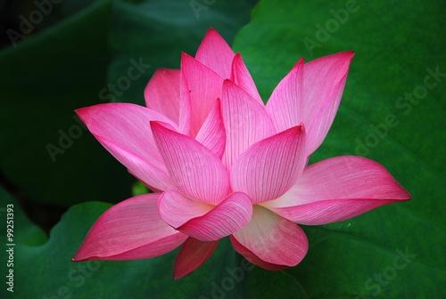 Foto op Canvas Lotusbloem Blooming lotus