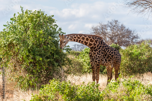 Giraffe bei der Nahrrungsaufnahme Poster