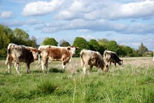 Small Group Of Four Young English Longhorn Bullocks, Some Grazing And Some Looking At The Camera, In A Springtime British Meadow. Blue Sky With Clouds, Sunny.