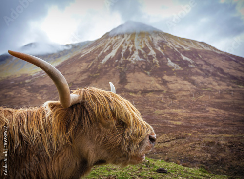 Fototapeta Side portrait of a Highland Cattle at the Glamaig mountains on Isle of Skye, Scotland, UK obraz