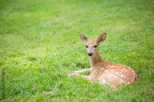 Poster Deer Deer fawn lying in a grassy field