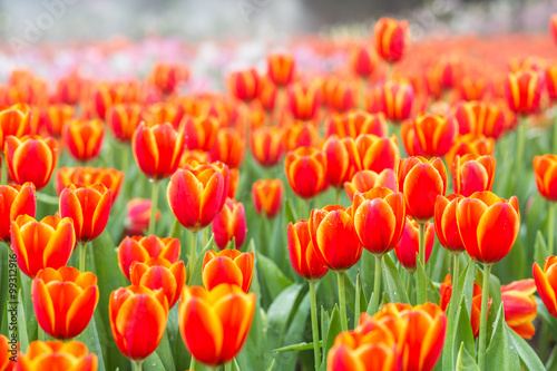 Orange tulip flower fields Canvas