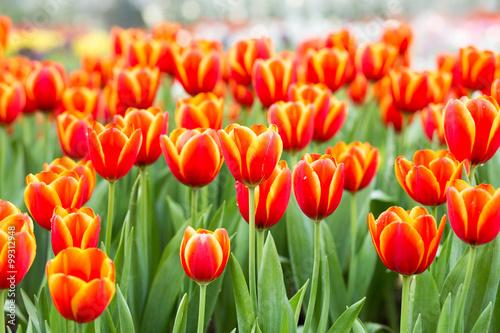 Obraz na plátně  Orange tulip flower fields