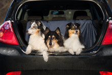 Three Rough Collie Dogs In A Car Trunk