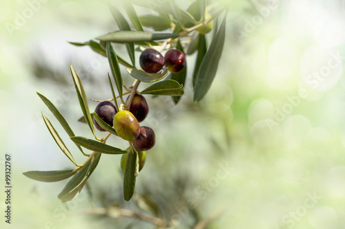 In de dag Olijfboom Ripe Olives Branch
