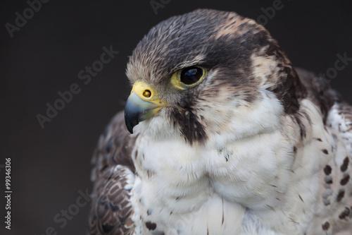 Photo  perigrine falcon