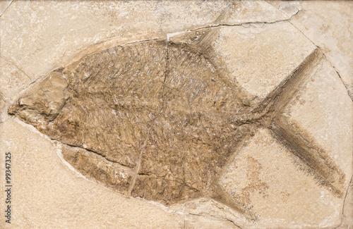 Tela  Fossil of a prehistoric fish.