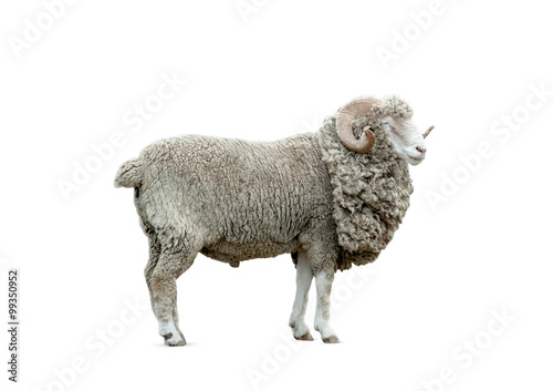 Photo sur Aluminium Sheep ram isolated