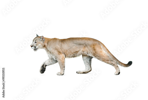 Fotobehang Puma cougar isolated over a white background