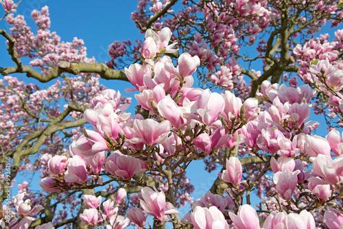 Fotobehang Magnolia Magnolien - Magnolia