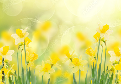 Deurstickers Narcis spring growing daffodils in garden
