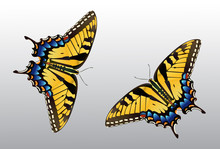 Butterfly Clip Art - Species: Tiger Swallowtail - Vector Image