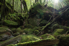 Forest Of Moss World Natural Heritage Yakushima