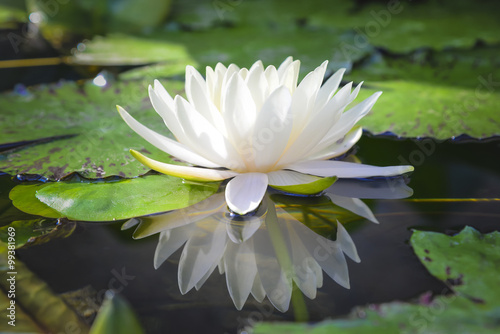 Staande foto Lotusbloem white lotus flower reflect with the water in the pond