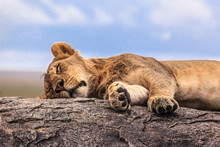 One Lioness Sleeping On The Rock In Serengeti NP, Tanzania, Africa