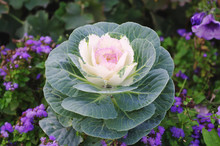 Decorative Cabbage Vegetable Curly (Brassica Oleracea Var. Acephala)