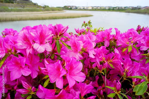 Papiers peints Azalea Group of azalea flowers blooming near the river in japan