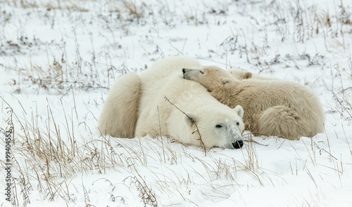Foto op Aluminium Ijsbeer Polar she-bear with cubs. A Polar she-bear with two small bear cubs on the snow.