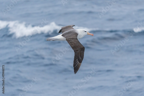Valokuva  Black-browed Albatross in flight.